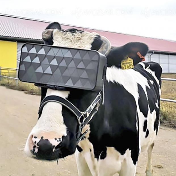 Vaches et réalité virtuelle, une expérience « au lait au lait »