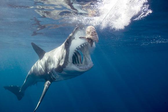 Les requins : les attaques spectaculaires du grand blanc (2010)